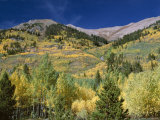 Aspen Trees  Independence Pass  Colorado  USA