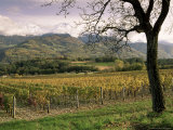 Vineyards Near Chambery  Savoie  Rhone Alpes  France