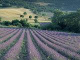 Lavender Field Near Ferrassieres  Drome  Rhone Alpes  France