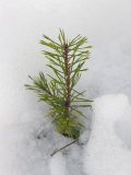 New Fir Tree Sapling Breaks Through Snow in Spring Thaw  Finland  Scandinavia