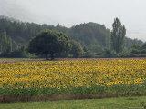 Field of Sunflowers Near Ferrassieres  Drome  Rhone Alpes  France