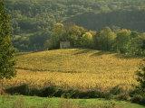 Vineyards in Autumn  Near Arbois  Jura  Franche Comte  France