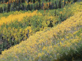 Aspen Trees in the Fall  San Juan Skyway  Colorado  USA