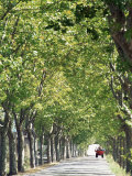 Avenue of Plane Trees  Lancon  Bouches Du Rhone  Provence  France