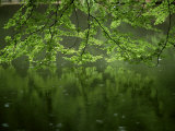 Beech Leaves Over Lake  Waggoners Wells  Grayshot  Surrey  England  United Kingdom