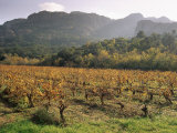Vineyards Near Roquebrun Sur Argens  Var  Provence  France