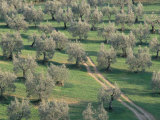 Elevated View Over Olive Trees in Olive Grove  Tuscany  Italy