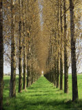 Avenue of Trees  Haute Normandie (Normandy)  France
