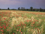 Summer Meadow with Poppies  Near Chateaumeillant  Loire Centre  Centre  France