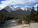 Mule Deer  Bow Valley Parkway by the Bow River  Near Lake Louise  Unesco World Heritage Site