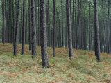 Pine Tree Trunks  Landes Forest  Near Lit Et Mixe  Landes  Aquitaine  France
