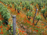 Vineyards Near Sauterne  Gironde  Aquitaine  France