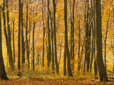 Beech Trees in Autumn  Queen Elizabeth Country Park  Hampshire  England  United Kingdom