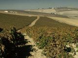 Vineyards Near Jerez  Cadiz  Andalucia  Spain