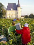 Grape Harvesting  Chateau Pichon Longueville  Pauillac  Medoc  Aquitaine  France