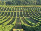 Vineyard Near Monbazillac  Dordogne  Aquitaine  France