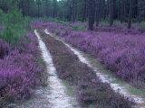 Landes Forest  Aquitaine  France