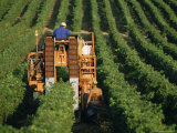 Harvesting Grapes  Near Castillon  Gironde  Aquitaine  France