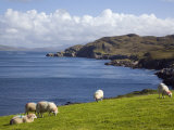Sheep Grazing by Rugged Coastline of Coulagh Bay on Ring of Beara Tourist Route