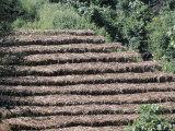 Coffee Plants Grown Under Shade  Bendele Region  Oromo Country  Ilubador State  Ethiopia  Africa