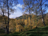 Birch Trees in Autumn  Glen Lyon  Tayside  Scotland  United Kingdom