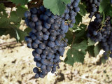 Cabernet Sauvignon Grapes  Gaillac  France