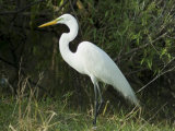 Egret  Everglades National Park  Unesco World Heritage Site  Florida  USA