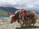 Decorated Yak, Turquoise Lake, Tibet, China Papier Photo par Ethel Davies