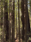Redwoods  Humboldt County  California  USA
