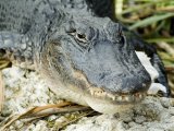 Alligator  Everglades National Park  Florida  USA