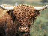 Highland Cow  Near Elgol  Isle of Skye  Highland Region  Scotland  United Kingdom