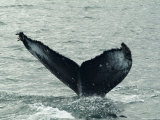 Humpback Whales  Husavik  the Whale Capital of Europe  Iceland  Polar Regions