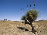 Yakka Plant  Flinders Range  South Australia  Australia