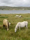Connemara Ponies  County Galway  Connacht  Republic of Ireland