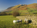 Saddleback  Four Grazing Sheep  Lake Distict  Cumbria  England  United Kingdom