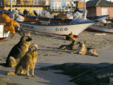 Fishermen's Dogs Awaiting Their Return  Horcon  Chile  South America