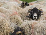 Ewes at Haresceugh Castle  Pennines  Cumbria  England  United Kingdom