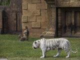 White Bengal Tiger at Miami Metro Zoo  Miami  Florida  USA