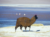Alpaca  Lago Colorada  Uyuni  Bolivia  South America