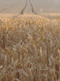 Wheat Field in the Dordogne  Aquitaine  France
