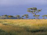 Umbrella Acacia Trees  Masai Mara  Kenya  East Africa  Africa