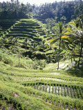 Terraced Rice Fields  Bali  Indonesia  Southeast Asia