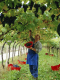 Man Picking Kabinett Grapes at Traminer Below Bolzano  Alto Adige  Italy