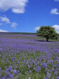 Bluebells  Dartmoor  Devon  England  United Kingdom