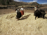Threshing Wheat at Racchi  Cuzco Area  High Andes  Peru  South America