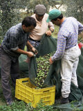 Gathering Olives for Fine Extra-Virgin Oil  Frantoio Galantino  Bisceglie  Puglia  Italy