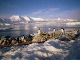 Gentoo Penguins on Wiencke Island  with Anvers Island in Distance  Antarctic Peninsula  Antarctica