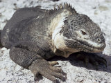 Land Iguana  Plaza Island  Galapagos Islands  Ecuador  South America