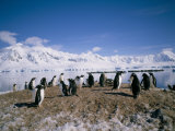 Gentoo Penguins  Antarctica  Polar Regions