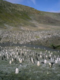 Chinstrap Penguins at Baily Head  Deception Island  Antarctica  Polar Regions